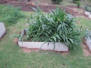 Collapsed corn