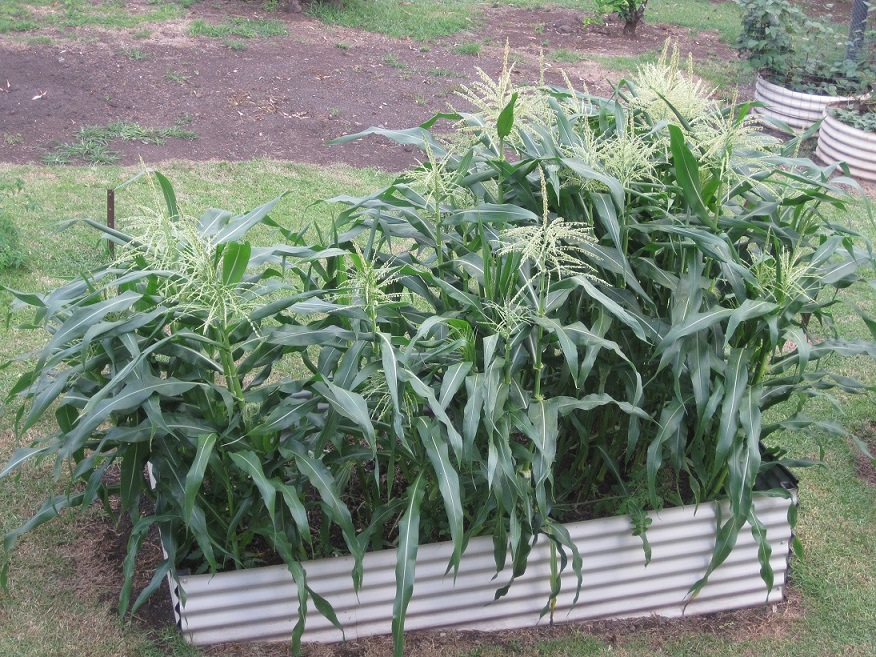 Corn Collapse (2/2)