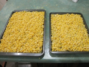 Trays of corn kernels